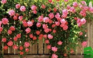 Как посадить плетистую розу у забора?
