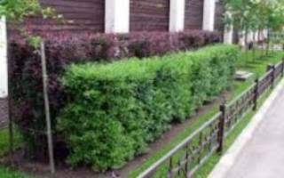 Какие деревья можно посадить вдоль забора?